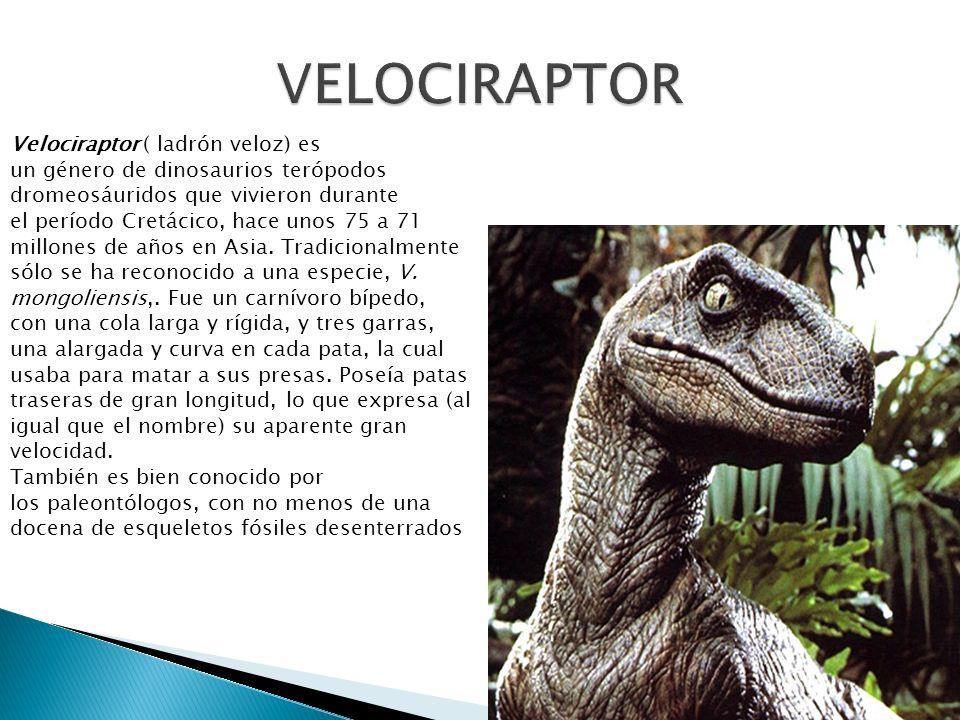 Velociraptor ( ladrón veloz) es un género de dinosaurios terópodos dromeosáuridos que vivieron durante el período Cretácico, hace unos 75 a 71 millone