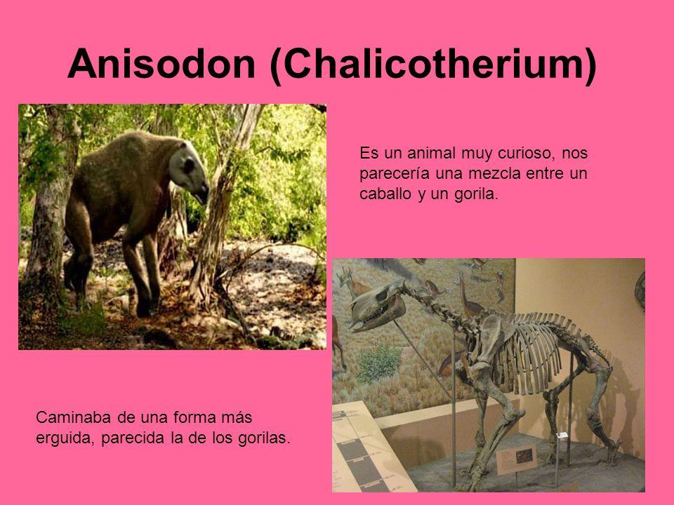 Anisodon (Chalicotherium) Es un animal muy curioso, nos parecería una mezcla entre un caballo y un gorila. Caminaba de una forma más erguida, parecida