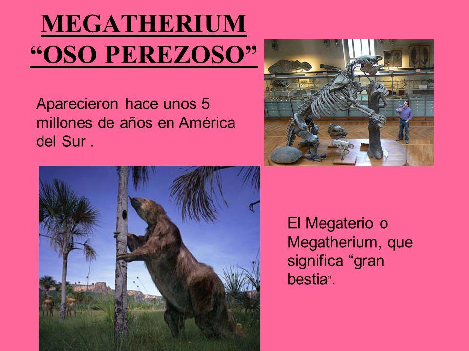 MEGATHERIUM OSO PEREZOSO El Megaterio o Megatherium, que significa gran bestia. Aparecieron hace unos 5 millones de años en América del Sur.