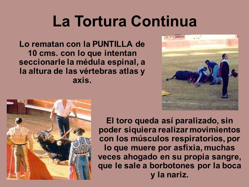 La Tortura Continua Lo rematan con la PUNTILLA de 10 cms. con lo que intentan seccionarle la médula espinal, a la altura de las vértebras atlas y axis