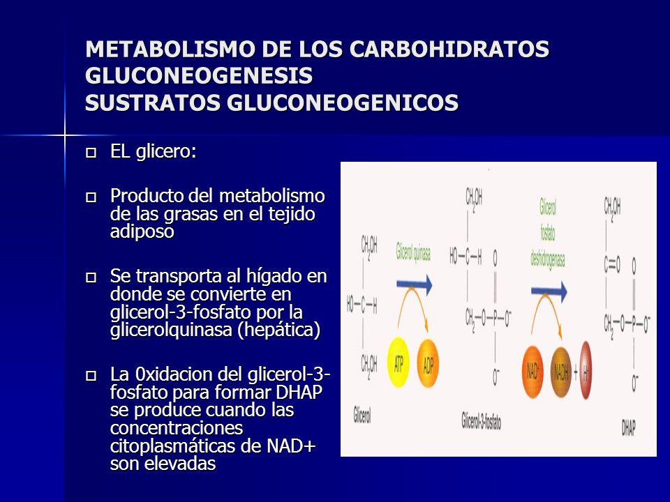 METABOLISMO DE LOS CARBOHIDRATOS GLUCONEOGENESIS SUSTRATOS GLUCONEOGENICOS EL glicero: EL glicero: Producto del metabolismo de las grasas en el tejido
