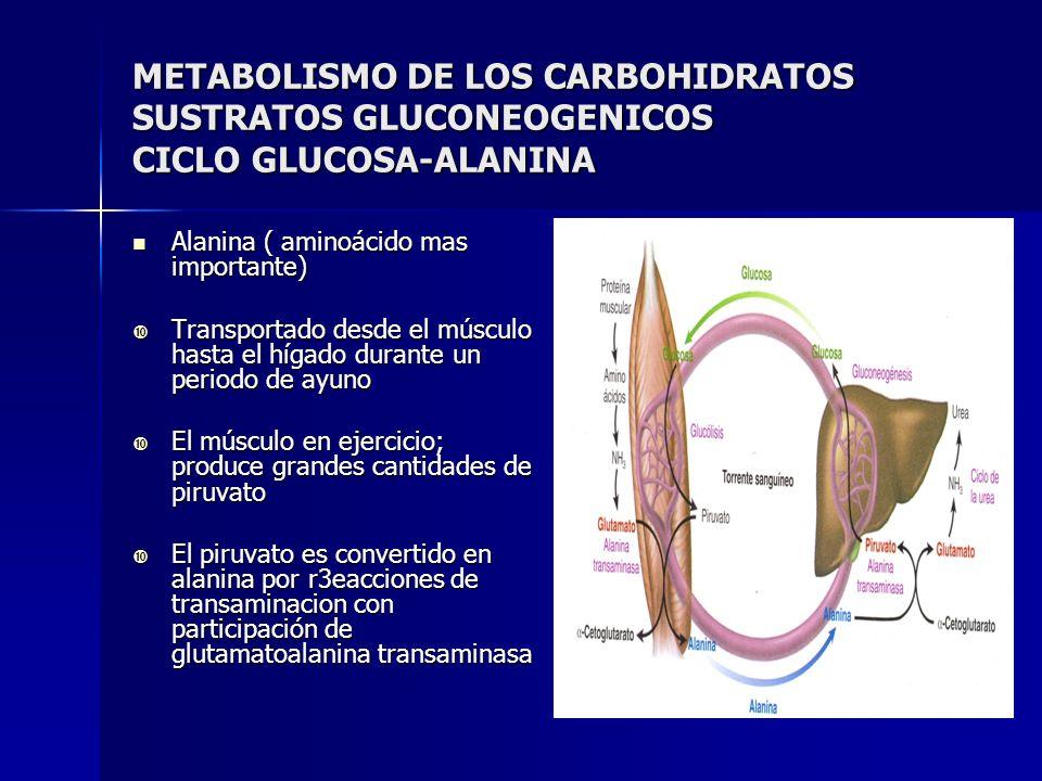 METABOLISMO DE LOS CARBOHIDRATOS SUSTRATOS GLUCONEOGENICOS CICLO GLUCOSA-ALANINA Alanina ( aminoácido mas importante) Alanina ( aminoácido mas importa