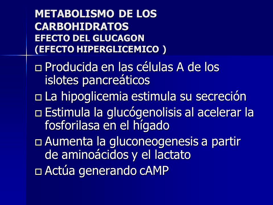 METABOLISMO DE LOS CARBOHIDRATOS EFECTO DEL GLUCAGON (EFECTO HIPERGLICEMICO ) Producida en las células A de los islotes pancreáticos Producida en las
