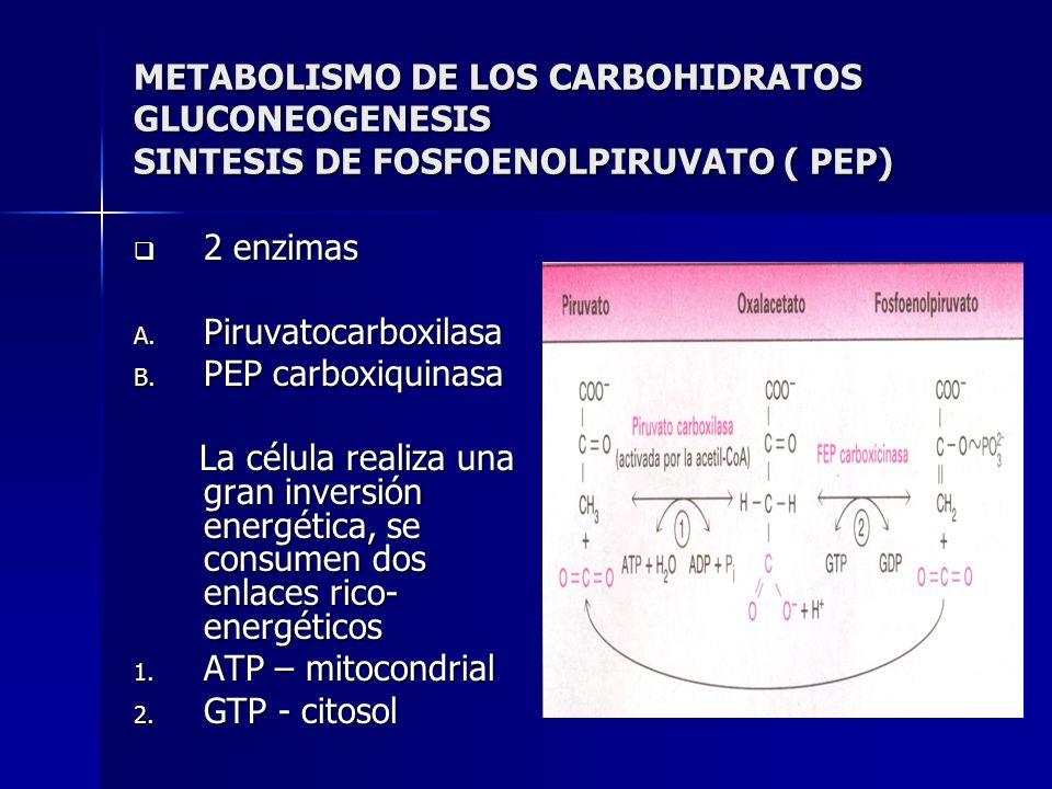 METABOLISMO DE LOS CARBOHIDRATOS GLUCONEOGENESIS SINTESIS DE FOSFOENOLPIRUVATO ( PEP) 2 enzimas 2 enzimas A. Piruvatocarboxilasa B. PEP carboxiquinasa