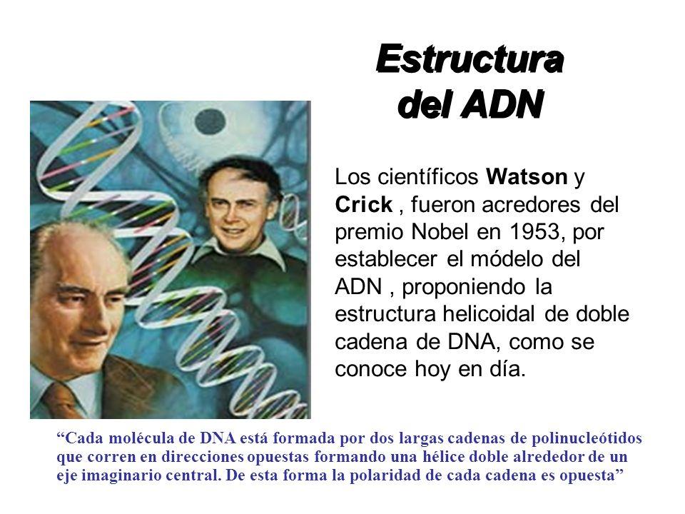 Los científicos Watson y Crick, fueron acredores del premio Nobel en 1953, por establecer el módelo del ADN, proponiendo la estructura helicoidal de d