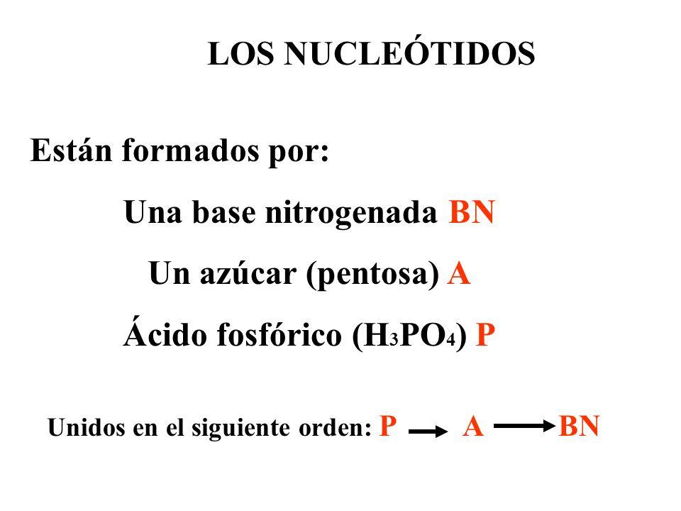 LOS NUCLEÓTIDOS Están formados por: Una base nitrogenada BN Un azúcar (pentosa) A Ácido fosfórico (H 3 PO 4 ) P Unidos en el siguiente orden: P A BN