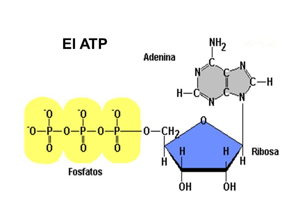 El ATP