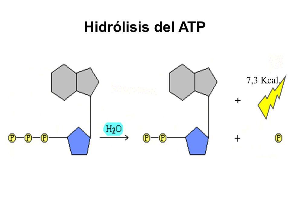 Hidrólisis del ATP + 7,3 Kcal.