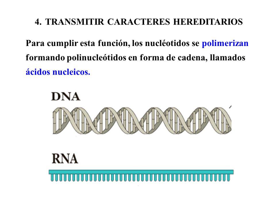 4.TRANSMITIR CARACTERES HEREDITARIOS Para cumplir esta función, los nucléotidos se polimerizan formando polinucleótidos en forma de cadena, llamados á