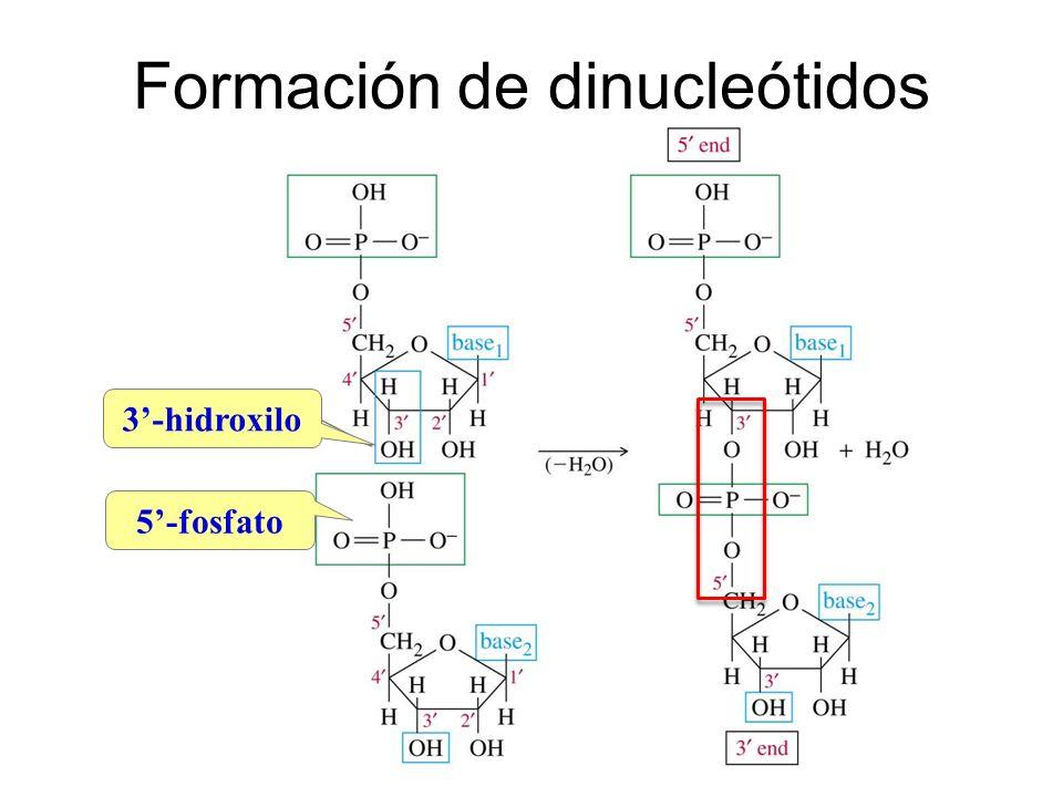 Formación de dinucleótidos 3-hidroxilo 5-fosfato