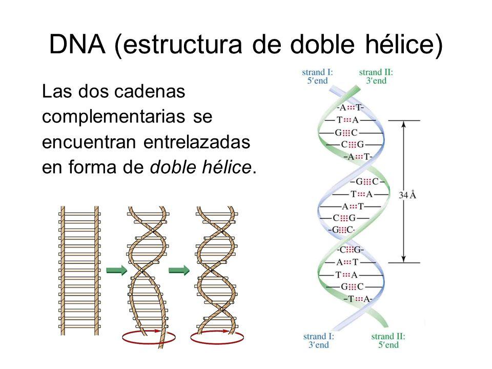 DNA (estructura de doble hélice) Las dos cadenas complementarias se encuentran entrelazadas en forma de doble hélice.