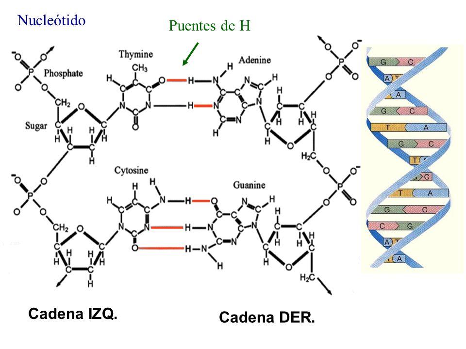 Puentes de H Nucleótido Cadena IZQ. Cadena DER. DNA