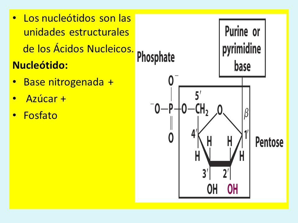 Los nucleótidos son las unidades estructurales de los Ácidos Nucleicos. Nucleótido: Base nitrogenada + Azúcar + Fosfato
