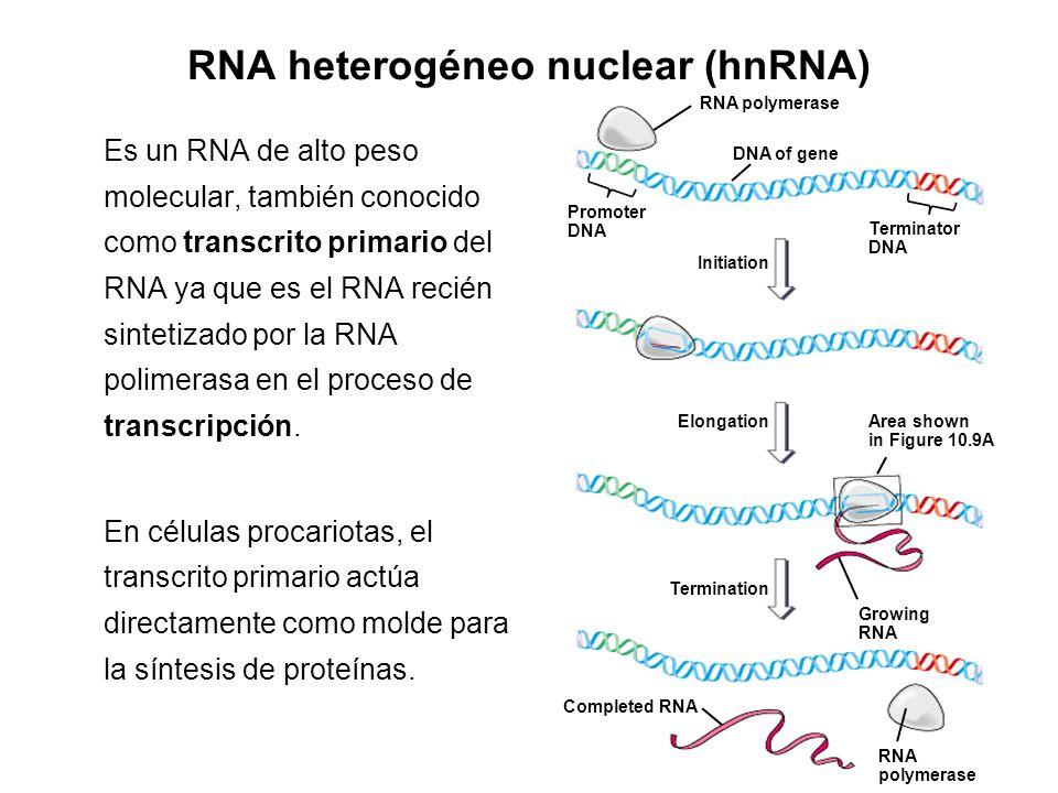 RNA heterogéneo nuclear (hnRNA) Es un RNA de alto peso molecular, también conocido como transcrito primario del RNA ya que es el RNA recién sintetizad