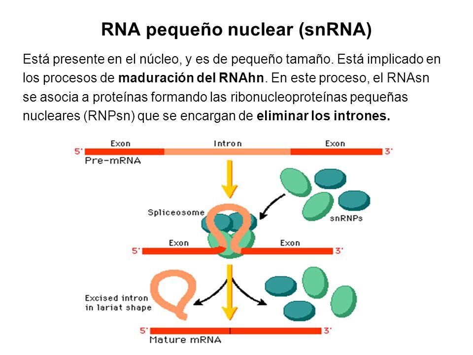 RNA pequeño nuclear (snRNA) Está presente en el núcleo, y es de pequeño tamaño. Está implicado en los procesos de maduración del RNAhn. En este proces