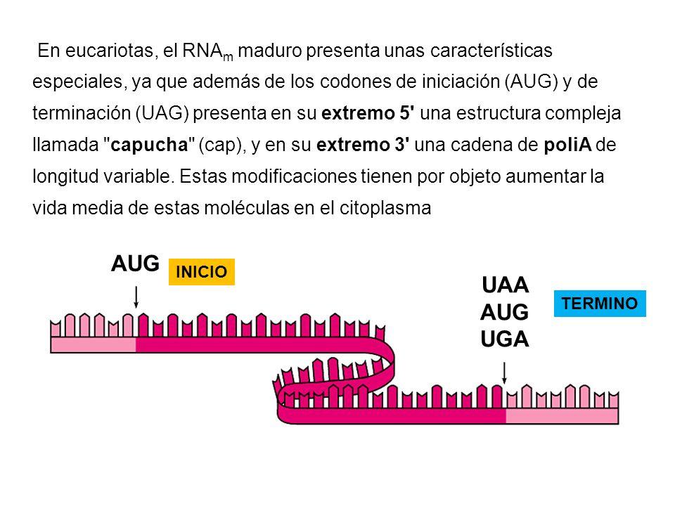 En eucariotas, el RNA m maduro presenta unas características especiales, ya que además de los codones de iniciación (AUG) y de terminación (UAG) prese