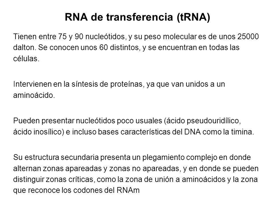 RNA de transferencia (tRNA) Tienen entre 75 y 90 nucleótidos, y su peso molecular es de unos 25000 dalton. Se conocen unos 60 distintos, y se encuentr