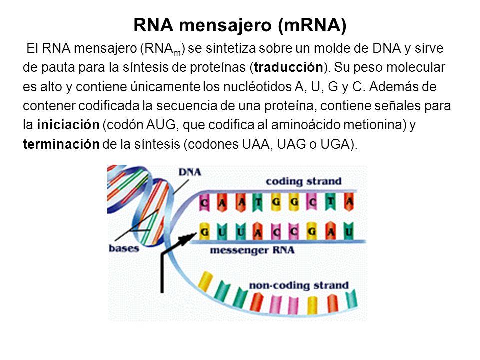 RNA mensajero (mRNA) El RNA mensajero (RNA m ) se sintetiza sobre un molde de DNA y sirve de pauta para la síntesis de proteínas (traducción). Su peso