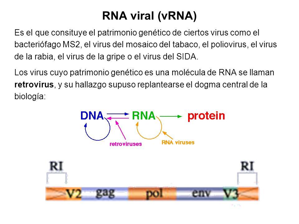 RNA viral (vRNA) Es el que consituye el patrimonio genético de ciertos virus como el bacteriófago MS2, el virus del mosaico del tabaco, el poliovirus,