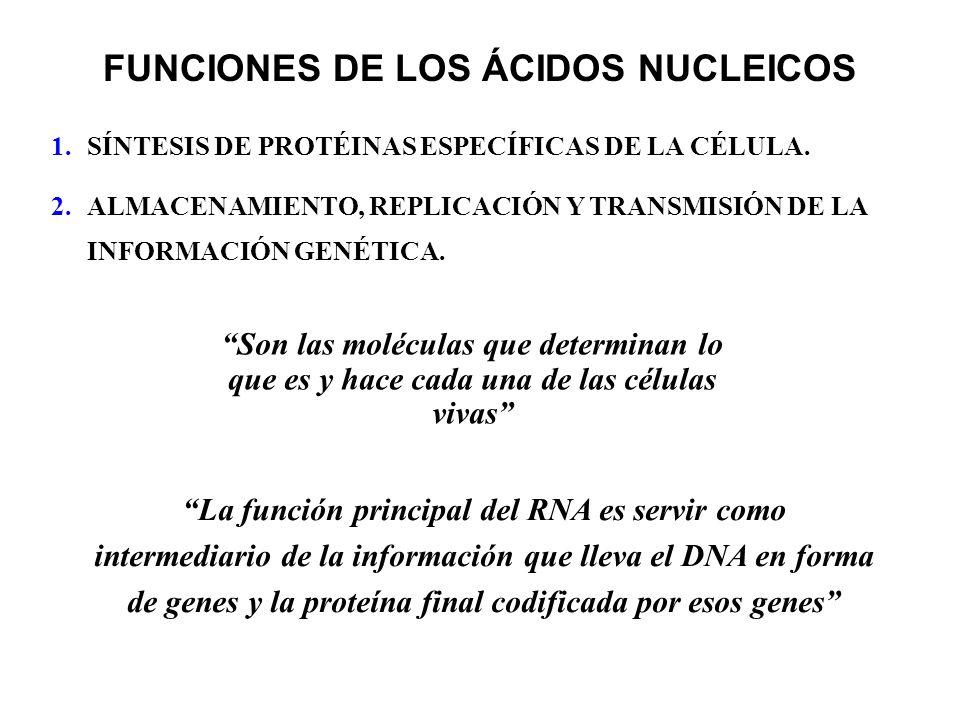 FUNCIONES DE LOS ÁCIDOS NUCLEICOS 1.SÍNTESIS DE PROTÉINAS ESPECÍFICAS DE LA CÉLULA. 2.ALMACENAMIENTO, REPLICACIÓN Y TRANSMISIÓN DE LA INFORMACIÓN GENÉ