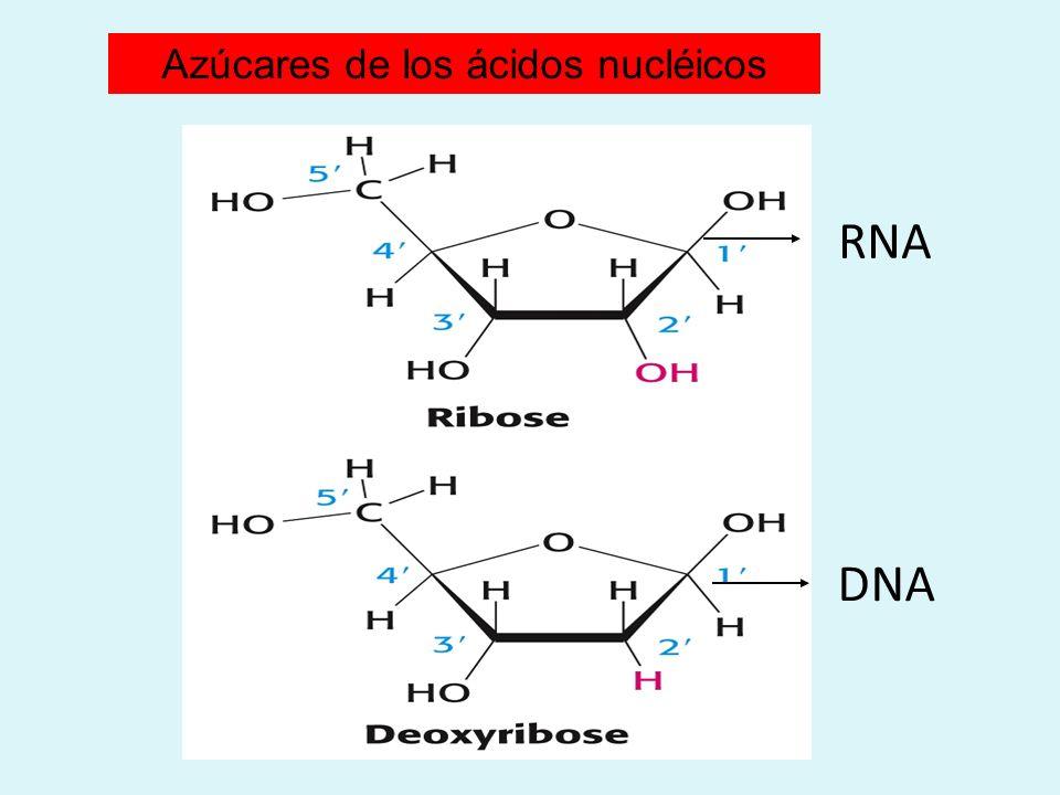 RNA DNA Azúcares de los ácidos nucléicos