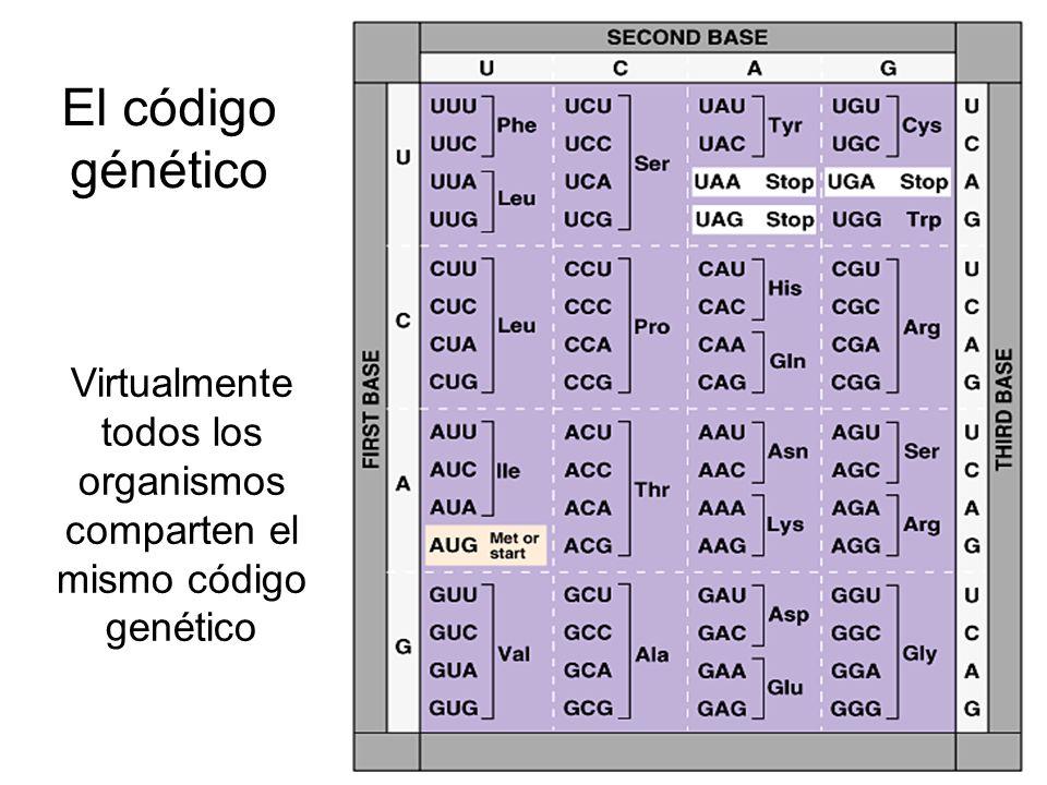 El código génético Virtualmente todos los organismos comparten el mismo código genético
