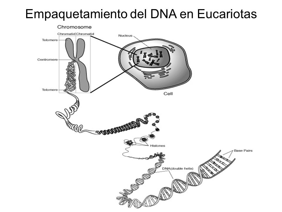 Empaquetamiento del DNA en Eucariotas