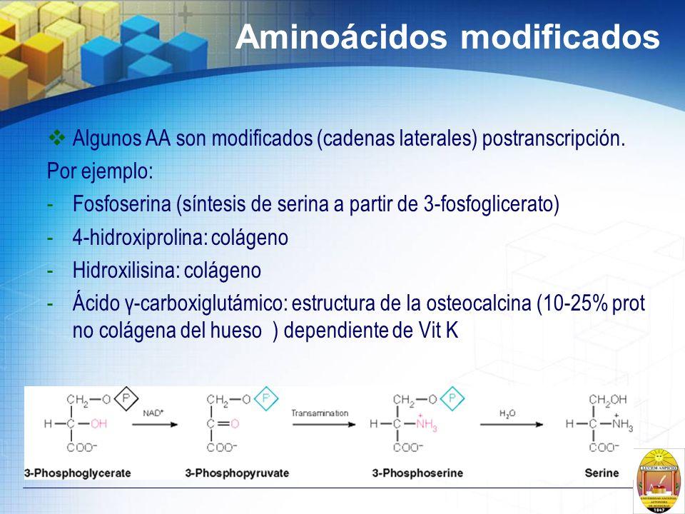 Aminoácidos modificados Algunos AA son modificados (cadenas laterales) postranscripción. Por ejemplo: -Fosfoserina (síntesis de serina a partir de 3-f