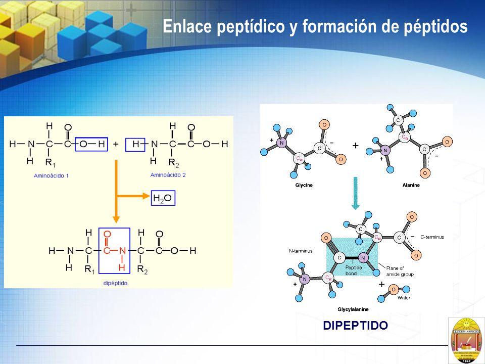 Enlace peptídico y formación de péptidos DIPEPTIDO