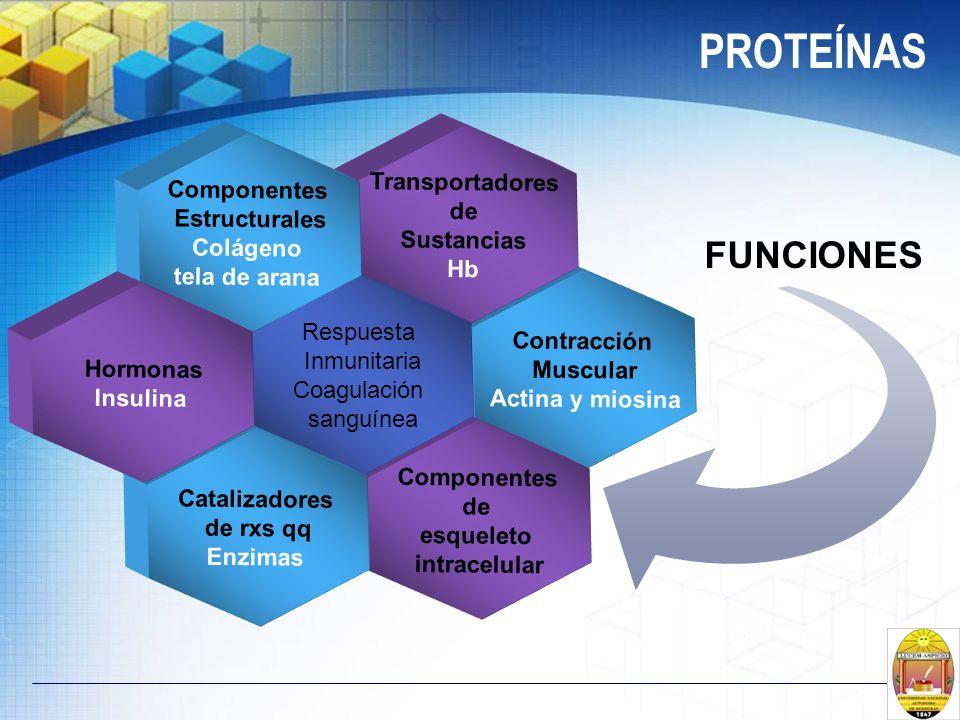 PROTEÍNAS Contracción Muscular Actina y miosina Transportadores de Sustancias Hb Componentes de esqueleto intracelular Respuesta Inmunitaria Coagulaci