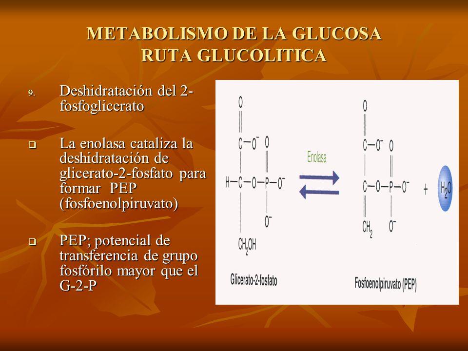 METABOLISMO DE LA GLUCOSA RUTA GLUCOLITICA 9.