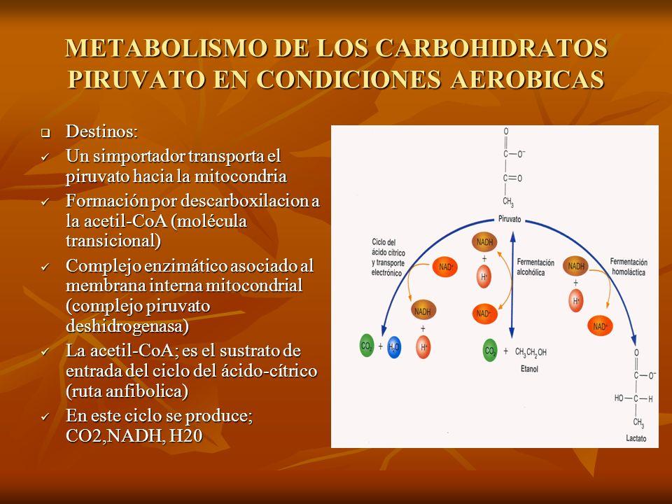 METABOLISMO DE LOS CARBOHIDRATOS PIRUVATO EN CONDICIONES AEROBICAS Destinos: Destinos: Un simportador transporta el piruvato hacia la mitocondria Un simportador transporta el piruvato hacia la mitocondria Formación por descarboxilacion a la acetil-CoA (molécula transicional) Formación por descarboxilacion a la acetil-CoA (molécula transicional) Complejo enzimático asociado al membrana interna mitocondrial (complejo piruvato deshidrogenasa) Complejo enzimático asociado al membrana interna mitocondrial (complejo piruvato deshidrogenasa) La acetil-CoA; es el sustrato de entrada del ciclo del ácido-cítrico (ruta anfibolica) La acetil-CoA; es el sustrato de entrada del ciclo del ácido-cítrico (ruta anfibolica) En este ciclo se produce; CO2,NADH, H20 En este ciclo se produce; CO2,NADH, H20