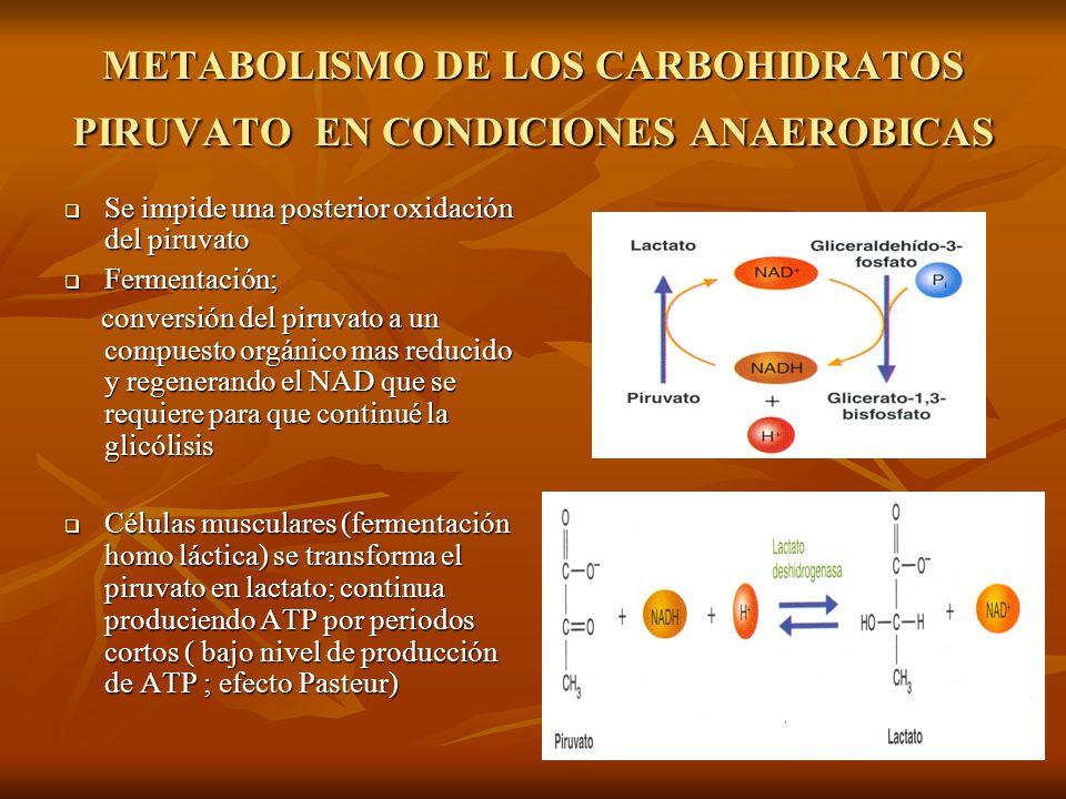 METABOLISMO DE LOS CARBOHIDRATOS PIRUVATO EN CONDICIONES ANAEROBICAS Se impide una posterior oxidación del piruvato Se impide una posterior oxidación del piruvato Fermentación; Fermentación; conversión del piruvato a un compuesto orgánico mas reducido y regenerando el NAD que se requiere para que continué la glicólisis conversión del piruvato a un compuesto orgánico mas reducido y regenerando el NAD que se requiere para que continué la glicólisis Células musculares (fermentación homo láctica) se transforma el piruvato en lactato; continua produciendo ATP por periodos cortos ( bajo nivel de producción de ATP ; efecto Pasteur) Células musculares (fermentación homo láctica) se transforma el piruvato en lactato; continua produciendo ATP por periodos cortos ( bajo nivel de producción de ATP ; efecto Pasteur)