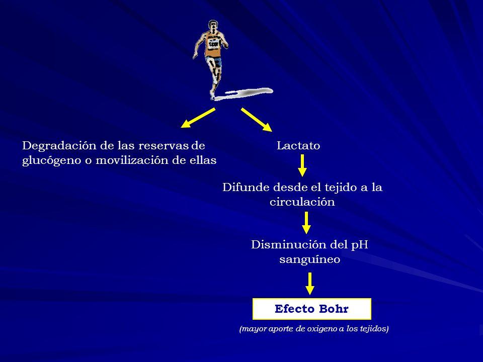 Degradación de las reservas de glucógeno o movilización de ellas Lactato Difunde desde el tejido a la circulación Disminución del pH sanguíneo Efecto