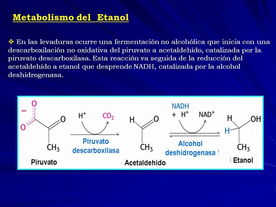 Metabolismo del Etanol En las levaduras ocurre una fermentación no alcohólica que inicia con una descarboxilación no oxidativa del piruvato a acetalde
