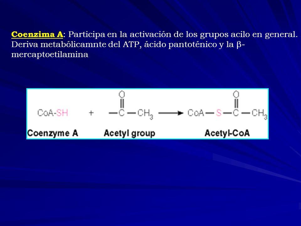 Coenzima A : Participa en la activación de los grupos acilo en general. Deriva metabólicamnte del ATP, ácido pantoténico y la β- mercaptoetilamina