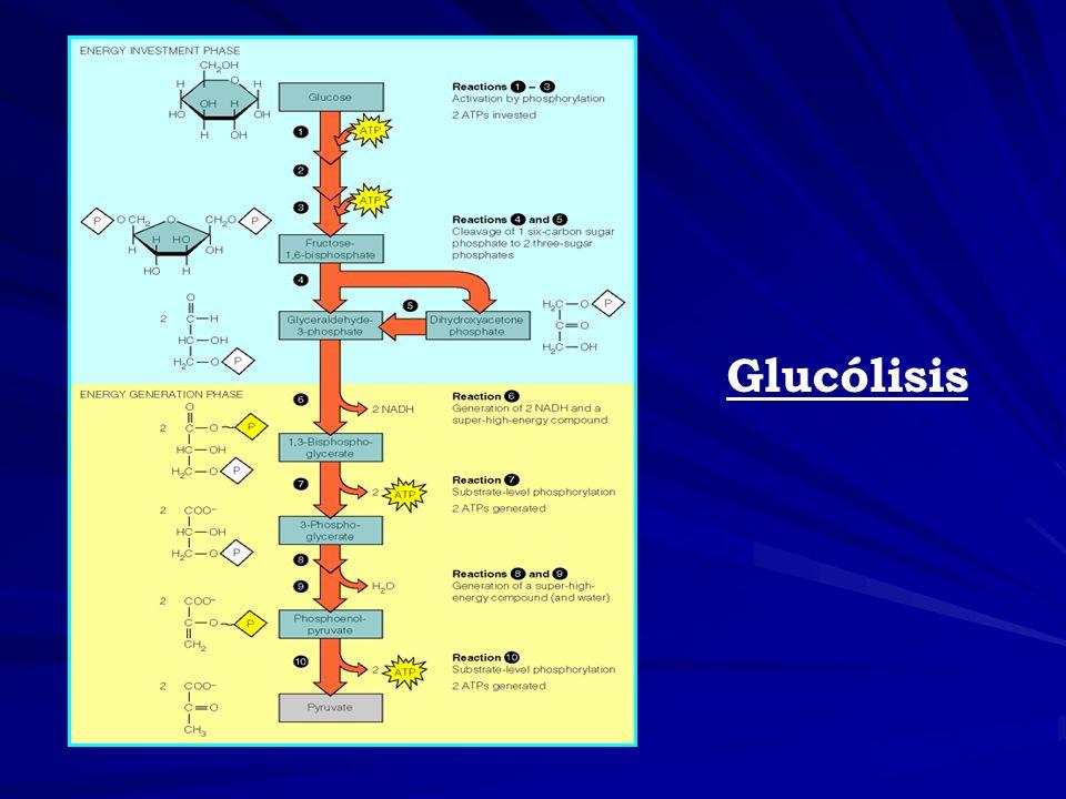 Entrada de otros azucares en la vía glicolítica 1.- Utilización de galactosa: Principal vía de entrada es a través de la glucosa -6- fosfato