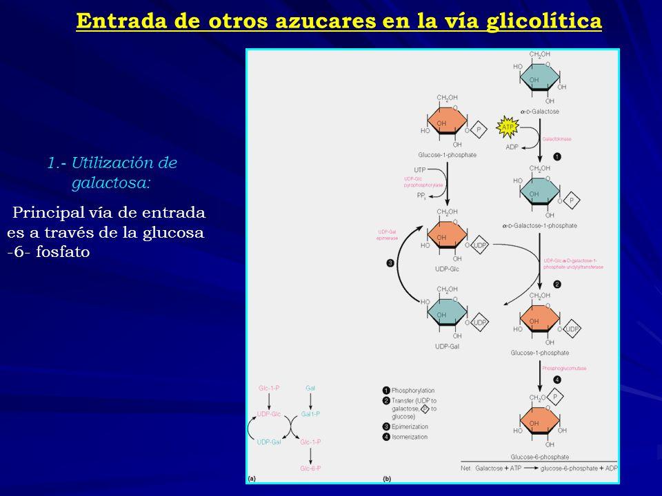 2.- Utilización de la fructosa: La fosforilación de la fructosa en la mayoría de los tejidos da lugar a la fructosa-6- fosfato, que es un intermediario glucolítico.