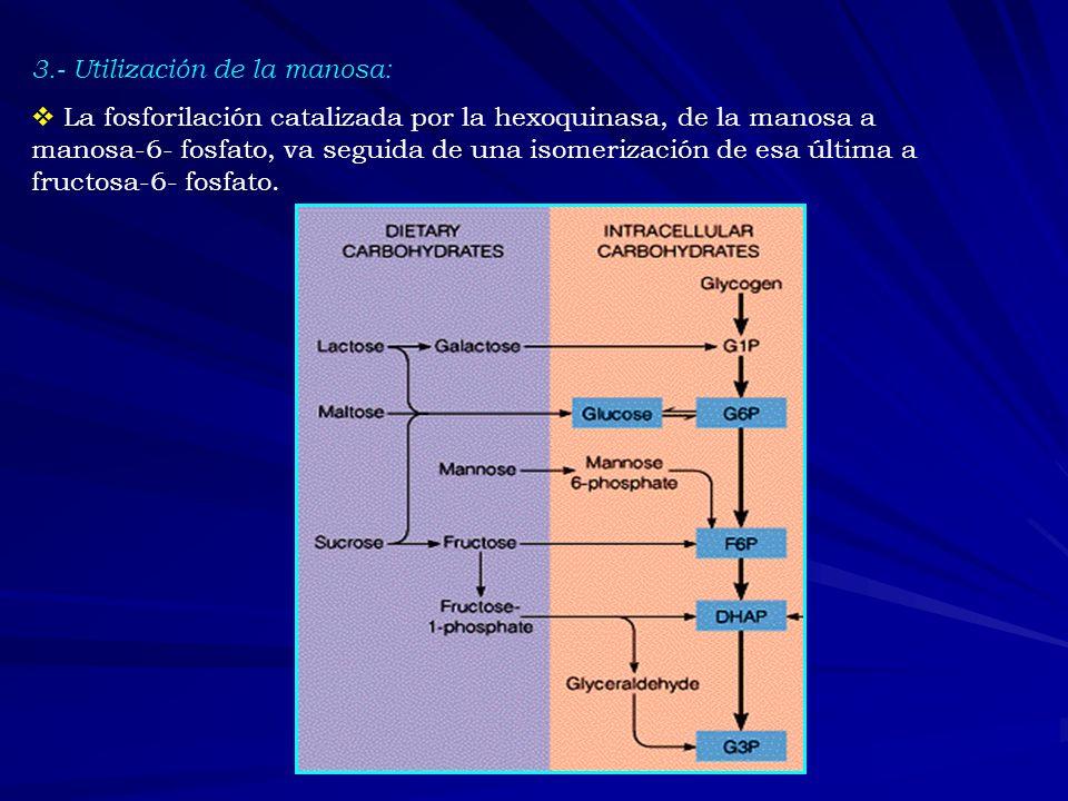 3.- Utilización de la manosa: La fosforilación catalizada por la hexoquinasa, de la manosa a manosa-6- fosfato, va seguida de una isomerización de esa