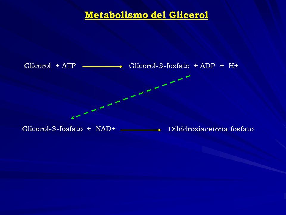Metabolismo del Glicerol Glicerol + ATPGlicerol-3-fosfato + ADP + H+ Glicerol-3-fosfato + NAD+ Dihidroxiacetona fosfato
