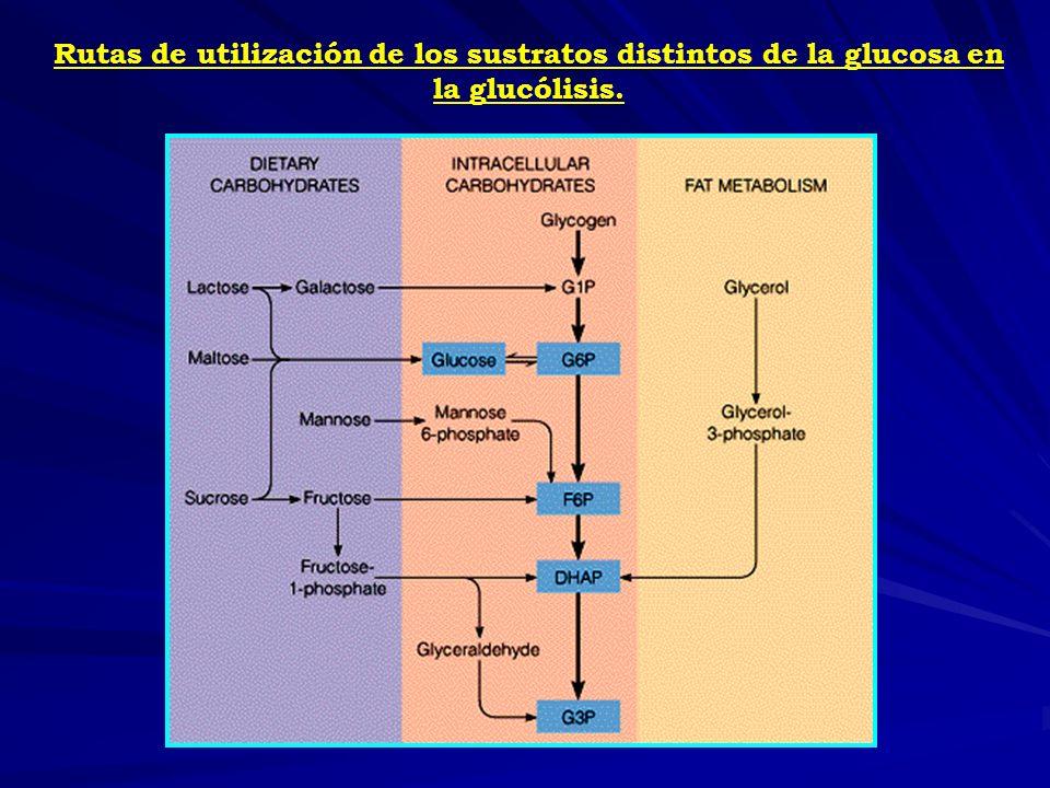 Energía Activación de los pasos que controlan la velocidad de la glucólisis Inhibición del flujo de carbonos por la gluconeogénesis Energía Inhibición de los pasos que controlan la velocidad de la glucólisis Estimulación del flujo de carbonos por la gluconeogénesis
