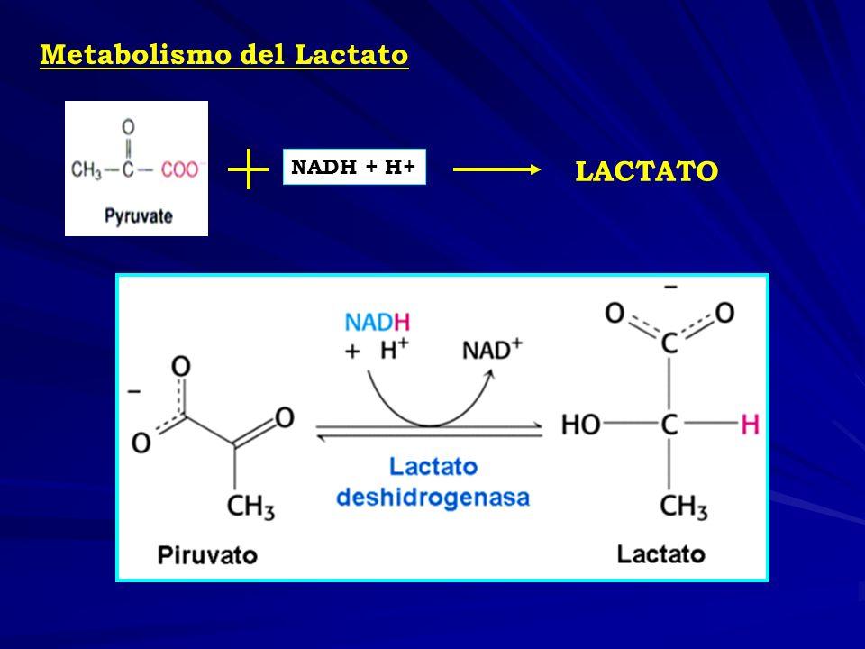 GLUCONEOGÉNESIS Producción de nueva glucosa.