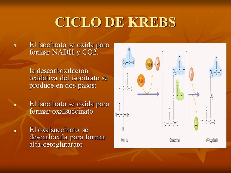 CICLO DE KREBS 3. El isocitrato se oxida para formar NADH y CO2. la descarboxilacion oxidativa del isocitrato se produce en dos pasos: la descarboxila