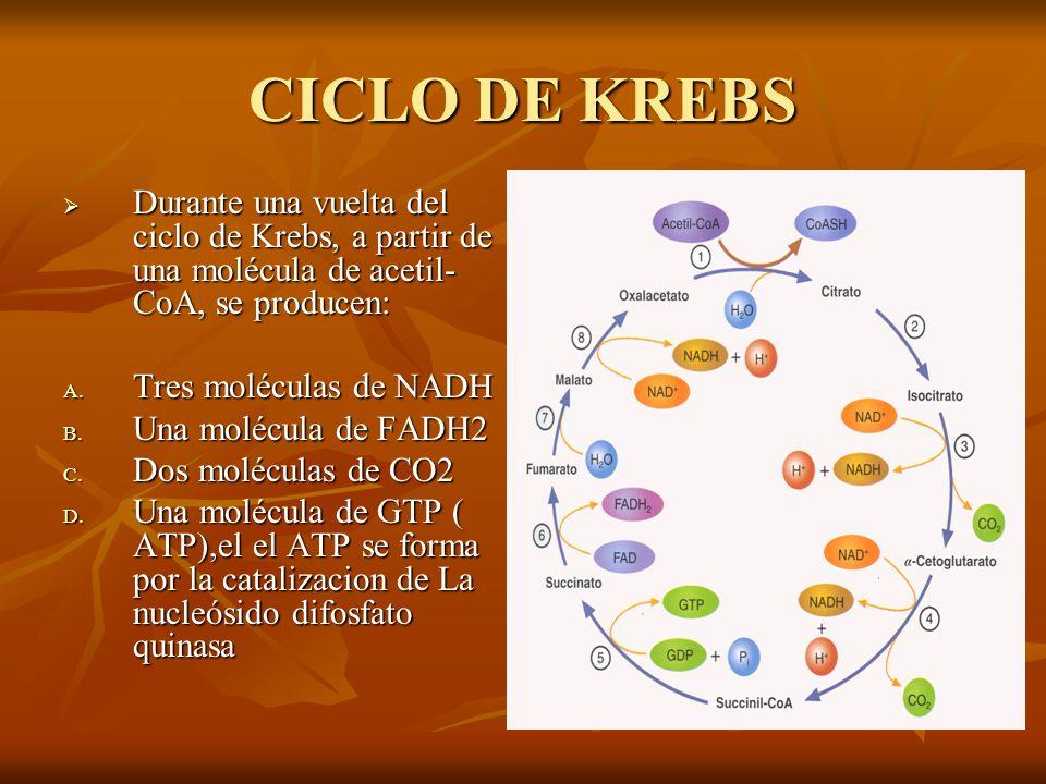 CICLO DE KREBS Durante una vuelta del ciclo de Krebs, a partir de una molécula de acetil- CoA, se producen: Durante una vuelta del ciclo de Krebs, a p