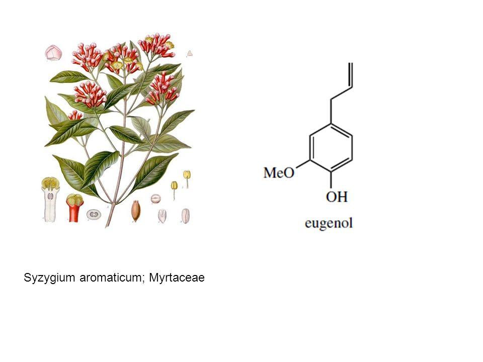 Syzygium aromaticum; Myrtaceae