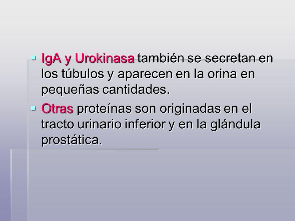 IgA y Urokinasa también se secretan en los túbulos y aparecen en la orina en pequeñas cantidades. IgA y Urokinasa también se secretan en los túbulos y