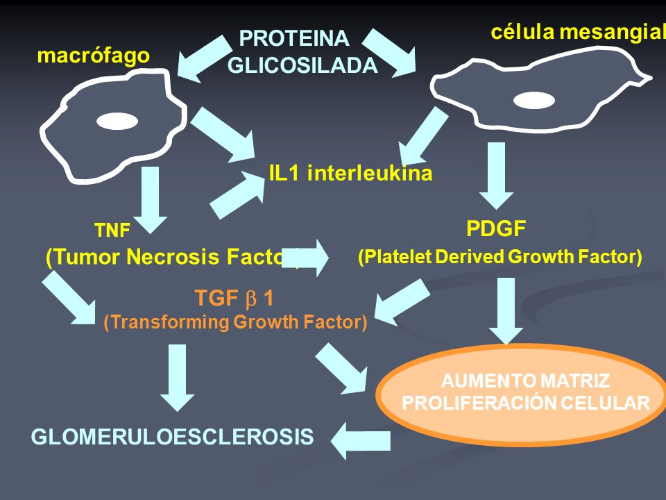 célula mesangial PROTEINA GLICOSILADA IL1 interleukina PDGF (Platelet Derived Growth Factor) TNF (Tumor Necrosis Factor) TGF 1 (Transforming Growth Fa