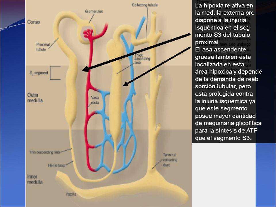 La hipoxia relativa en la medula externa pre dispone a la injuria Isquémica en el seg mento S3 del túbulo proximal. El asa ascendente gruesa también e