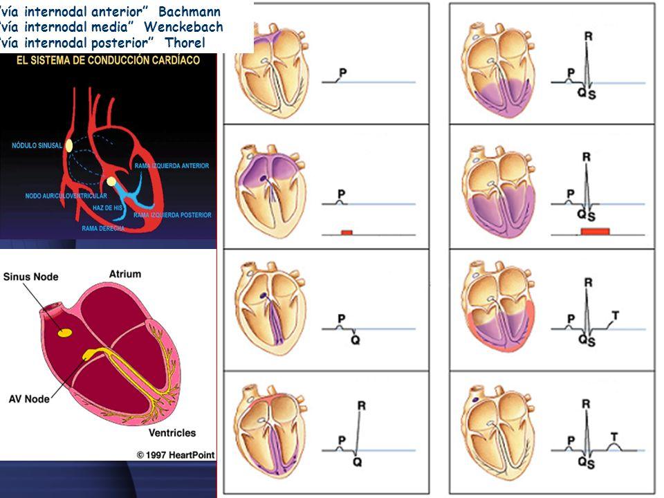 Contracción de la aurículaContracción del ventrículo vía internodal anterior Bachmann vía internodal media Wenckebach vía internodal posterior Thorel