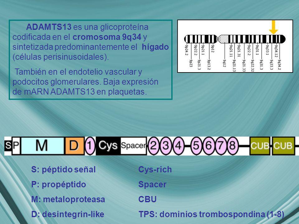 ADAMTS13 es una glicoproteína codificada en el cromosoma 9q34 y sintetizada predominantemente el hígado (células perisinusoidales).